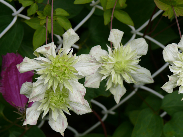 clematites-blanches