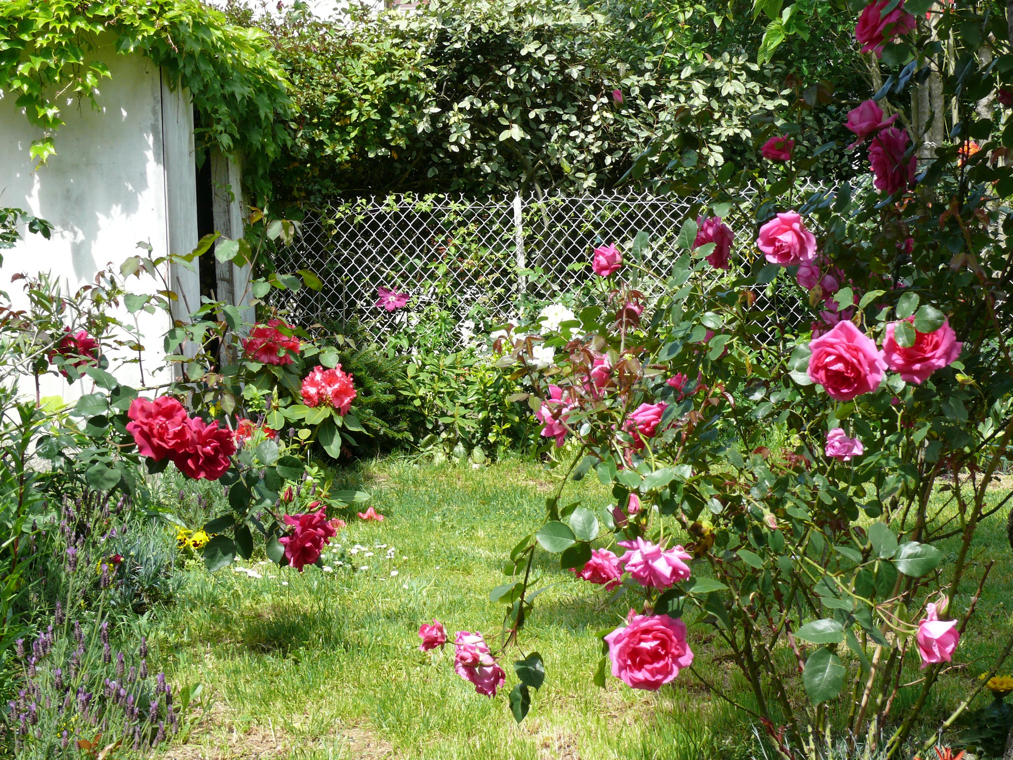 Rosier grimpant rose agrippé au cerisier