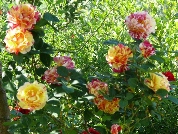 rose-biguare