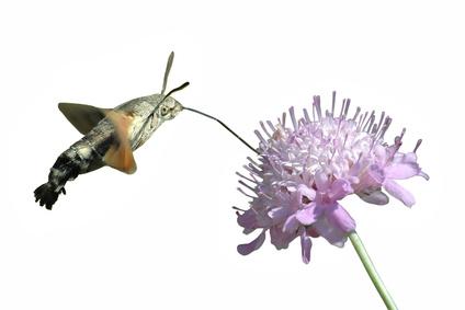 détourage papillon moro sphinx butinant une fleur