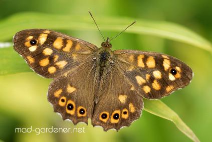 Papillon le Tircis sur une herbe