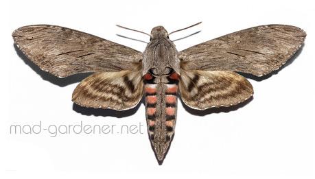 Détourage d'un papillon sphinx du liseron