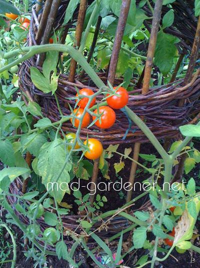 tomate-cerise-octobre