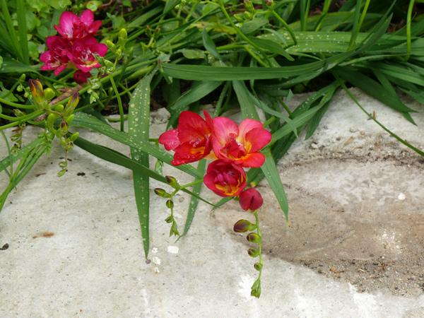 fleur-freesia