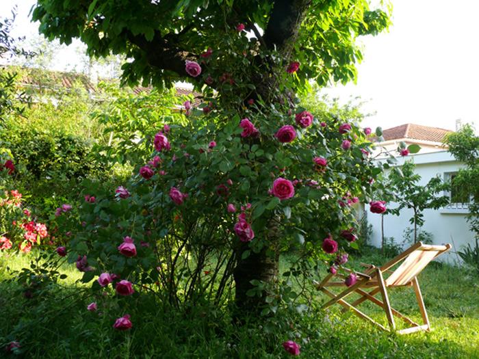 rosier-grimpamt-cerisier