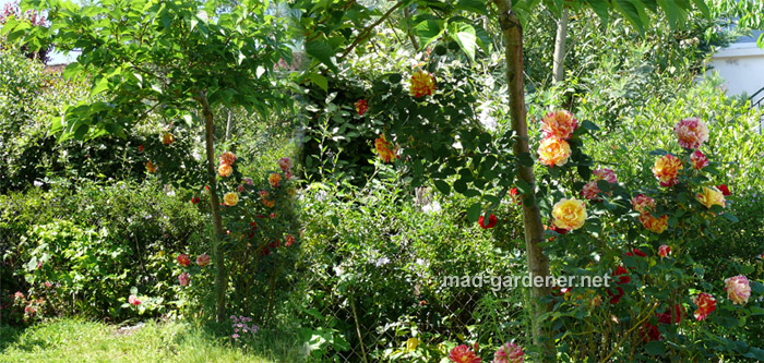 mes arbres fruitiers mad gardener blog sur les jardins les fleurs les papillons et la nature. Black Bedroom Furniture Sets. Home Design Ideas