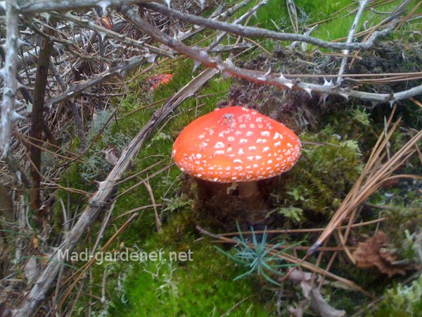 amanite-tue-mouches-amanita-muscaria